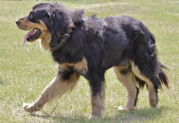 Хотошо-собака-Описание-особенности-уход-и-цена-породы-хотошо-3