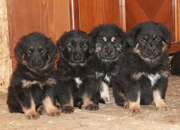 Хотошо-собака-Описание-особенности-уход-и-цена-породы-хотошо-4