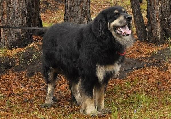 Хотошо-собака-Описание-особенности-уход-и-цена-породы-хотошо-6