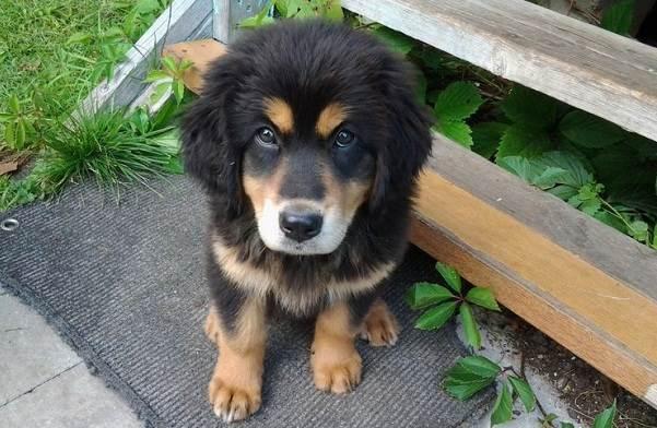 Хотошо-собака-Описание-особенности-уход-и-цена-породы-хотошо-7