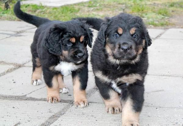 Хотошо-собака-Описание-особенности-уход-и-цена-породы-хотошо-8