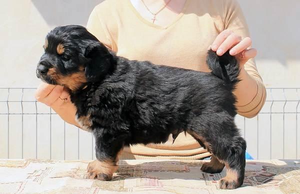 Хотошо-собака-Описание-особенности-уход-и-цена-породы-хотошо-9