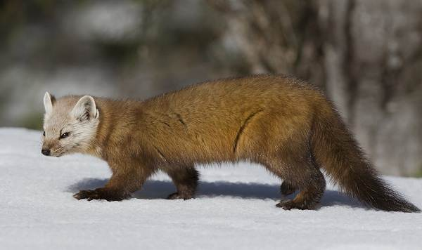 Животные-Татарстана-Описание-названия-и-особенности-животных-Татарстана-4