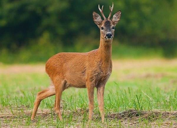 Животные-Татарстана-Описание-названия-и-особенности-животных-Татарстана-7