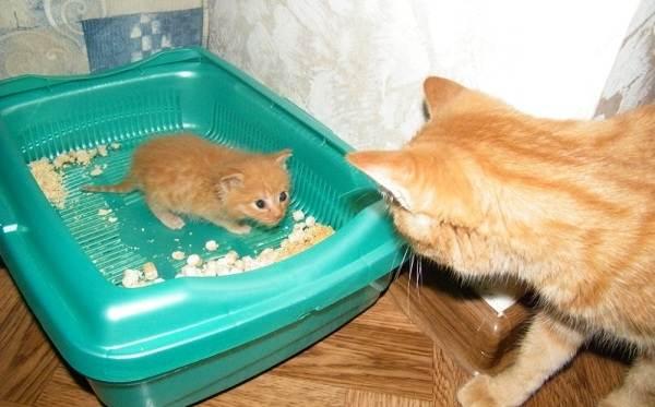 Как-приучить-котенка-к-лотку-4