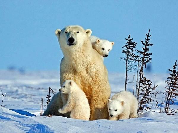 Почему-белый-медведь-не-ест-пингвинов-2