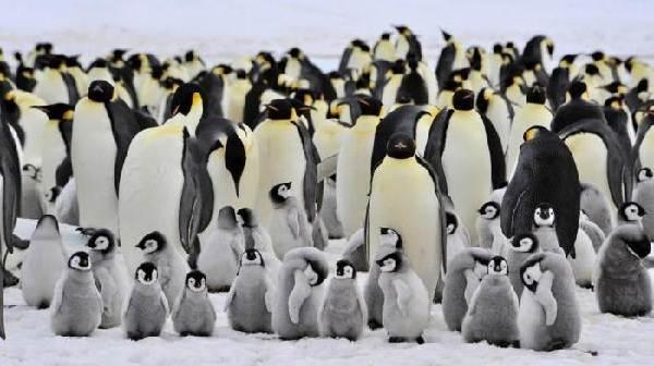 Почему-белый-медведь-не-ест-пингвинов-3