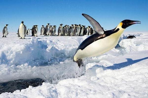 Почему-белый-медведь-не-ест-пингвинов-5
