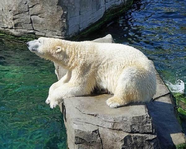 Почему-белый-медведь-не-ест-пингвинов-6