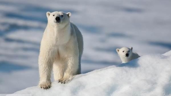 Почему-белый-медведь-не-ест-пингвинов-7