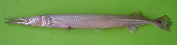 Сарган-рыба-Описание-особенности-и-среда-обитания-рыбы-сарган-10