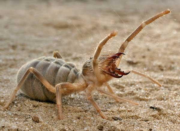 Сольпуга-паук-Описание-особенности-виды-и-среда-обитания-паука-сольпуга-1