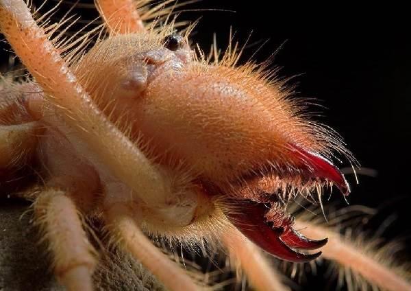 Сольпуга-паук-Описание-особенности-виды-и-среда-обитания-паука-сольпуга-10