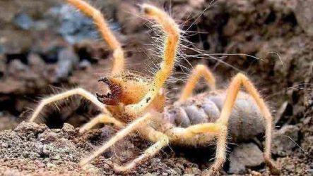 Сольпуга паук. Описание, особенности, виды и среда обитания паука сольпуга