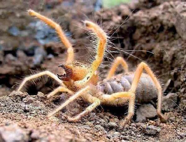 Сольпуга-паук-Описание-особенности-виды-и-среда-обитания-паука-сольпуга-2