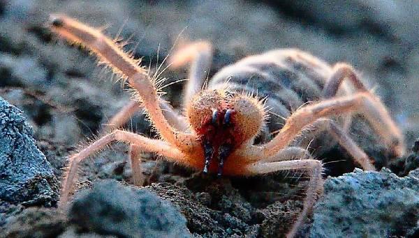 Сольпуга-паук-Описание-особенности-виды-и-среда-обитания-паука-сольпуга-3