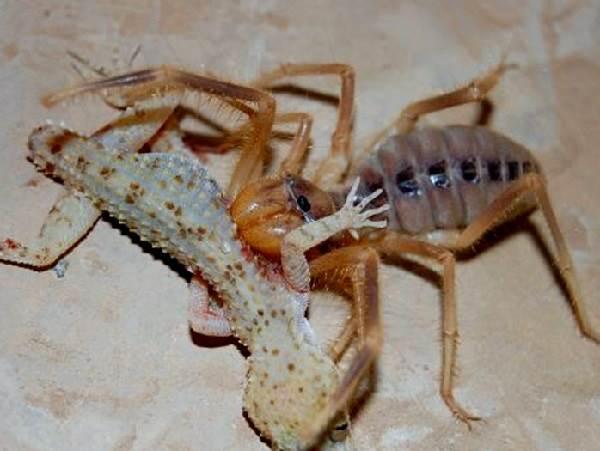 Сольпуга-паук-Описание-особенности-виды-и-среда-обитания-паука-сольпуга-4