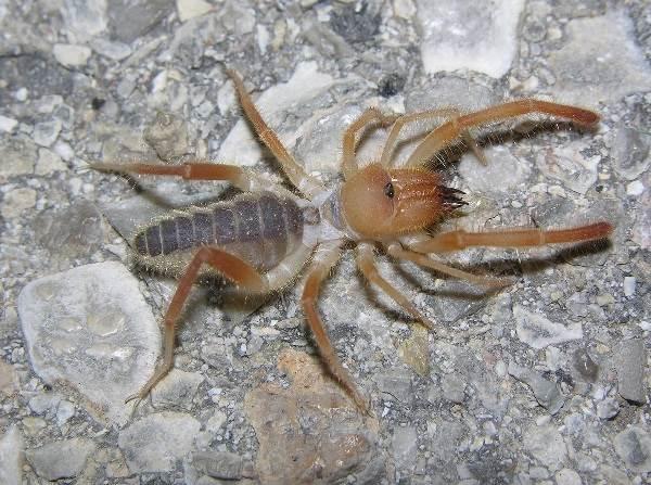 Сольпуга-паук-Описание-особенности-виды-и-среда-обитания-паука-сольпуга-5