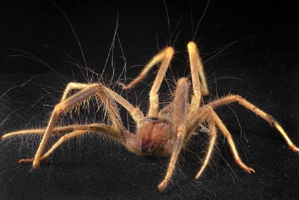 Сольпуга-паук-Описание-особенности-виды-и-среда-обитания-паука-сольпуга-9