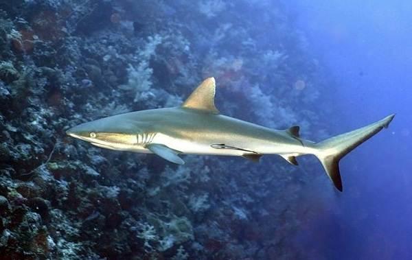 Виды-акул-Описание-названия-и-особенности-акул-10