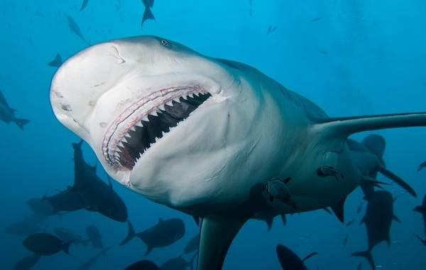 Виды-акул-Описание-названия-и-особенности-акул-11