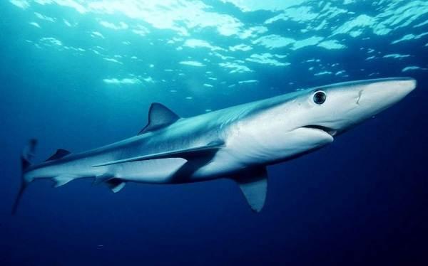 Виды-акул-Описание-названия-и-особенности-акул-13