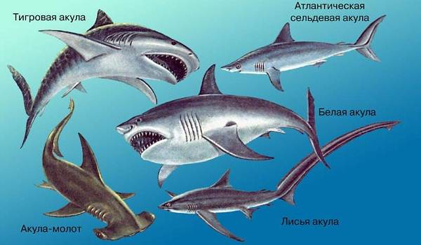 Виды-акул-Описание-названия-и-особенности-акул-2