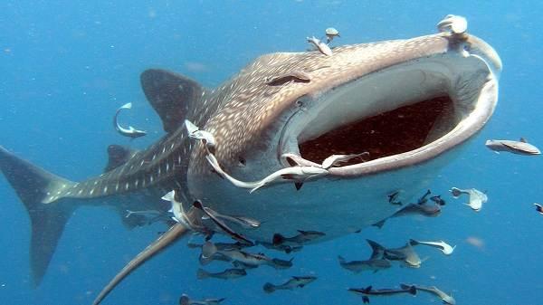Виды-акул-Описание-названия-и-особенности-акул-20