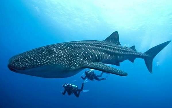 Виды-акул-Описание-названия-и-особенности-акул-21