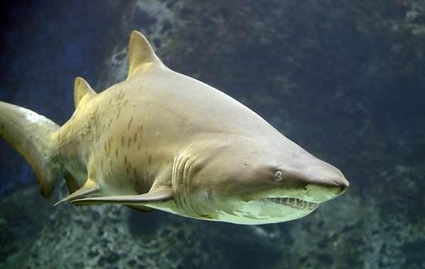 Виды-акул-Описание-названия-и-особенности-акул-27