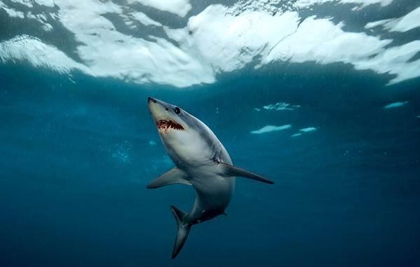 Виды-акул-Описание-названия-и-особенности-акул-29