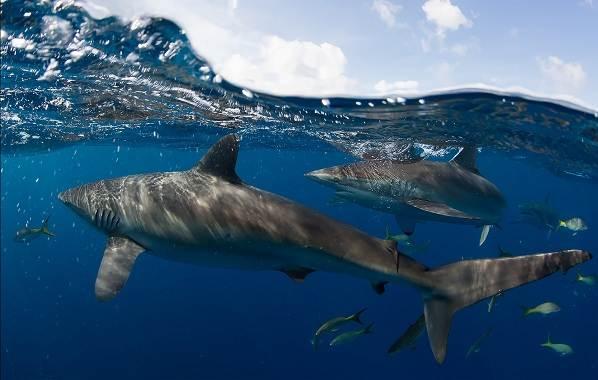 Виды-акул-Описание-названия-и-особенности-акул-3