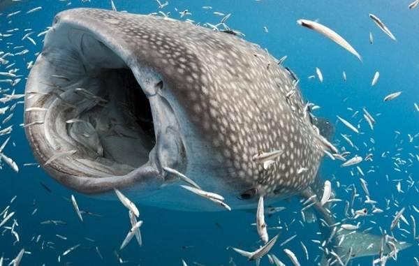 Виды-акул-Описание-названия-и-особенности-акул-32