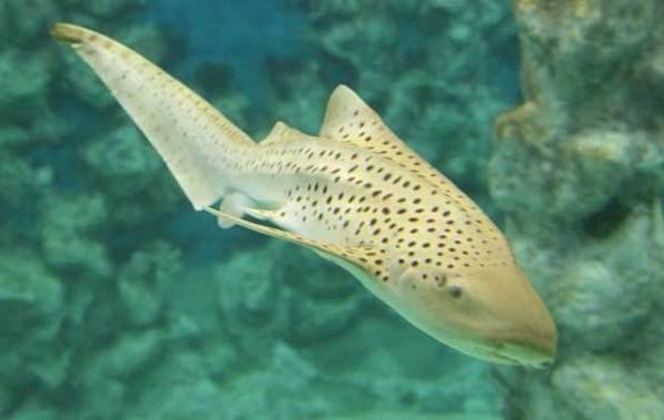 Виды-акул-Описание-названия-и-особенности-акул-35