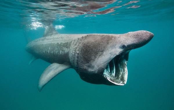 Виды-акул-Описание-названия-и-особенности-акул-40