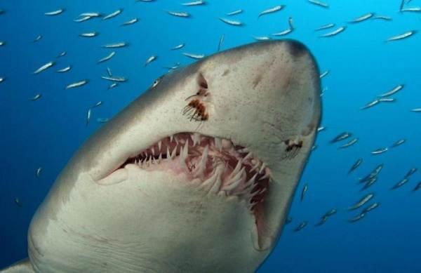 Виды-акул-Описание-названия-и-особенности-акул-43