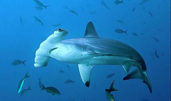 Виды-акул-Описание-названия-и-особенности-акул-7