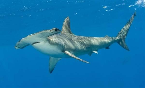 Виды-акул-Описание-названия-и-особенности-акул-8