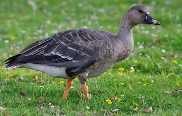 Водоплавающие-птицы-Описание-названия-и-особенности-водоплавающих-птиц-10