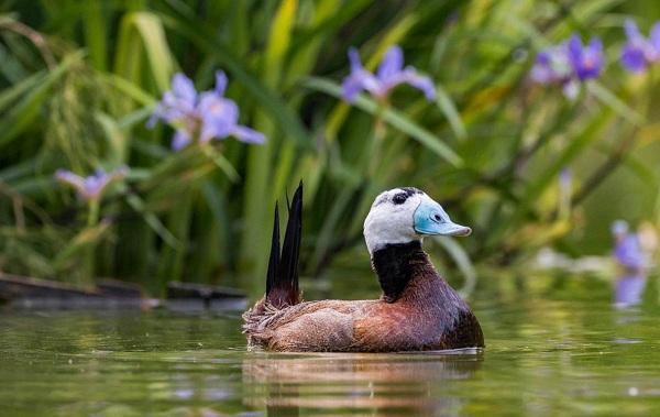 Водоплавающие-птицы-Описание-названия-и-особенности-водоплавающих-птиц-104