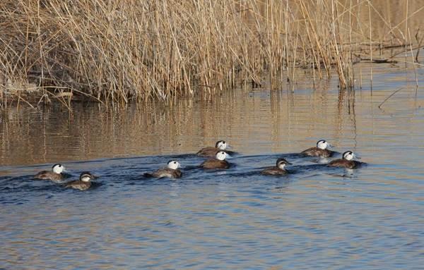 Водоплавающие-птицы-Описание-названия-и-особенности-водоплавающих-птиц-105
