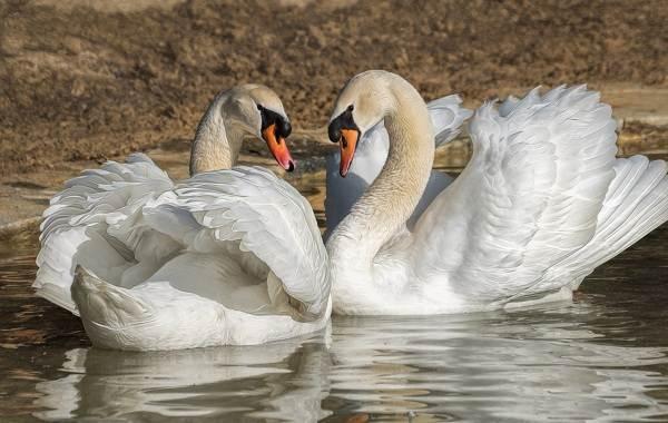 Водоплавающие-птицы-Описание-названия-и-особенности-водоплавающих-птиц-106