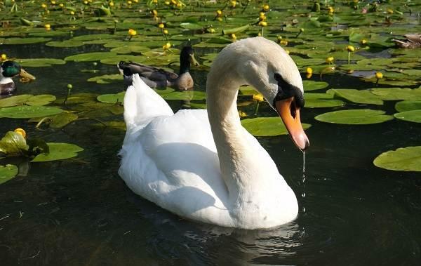 Водоплавающие-птицы-Описание-названия-и-особенности-водоплавающих-птиц-107