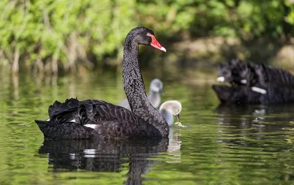 Водоплавающие-птицы-Описание-названия-и-особенности-водоплавающих-птиц-108