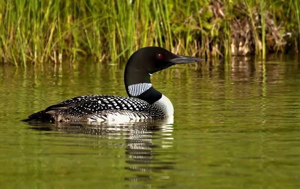 Водоплавающие-птицы-Описание-названия-и-особенности-водоплавающих-птиц-109