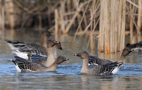 Водоплавающие-птицы-Описание-названия-и-особенности-водоплавающих-птиц-11