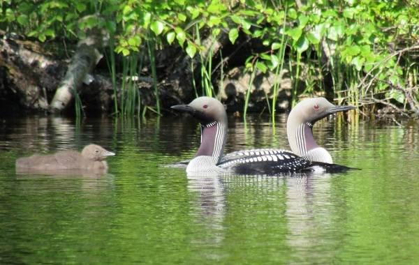 Водоплавающие-птицы-Описание-названия-и-особенности-водоплавающих-птиц-110