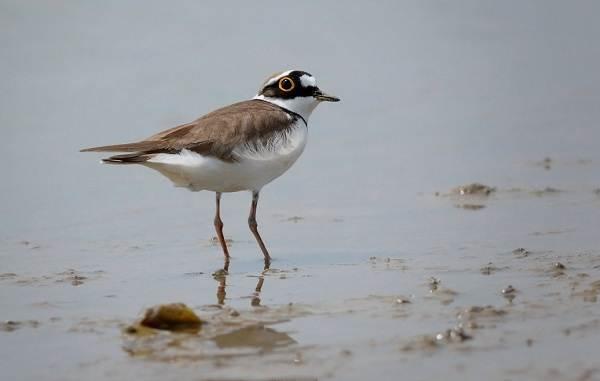 Водоплавающие-птицы-Описание-названия-и-особенности-водоплавающих-птиц-118