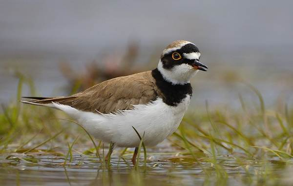 Водоплавающие-птицы-Описание-названия-и-особенности-водоплавающих-птиц-119