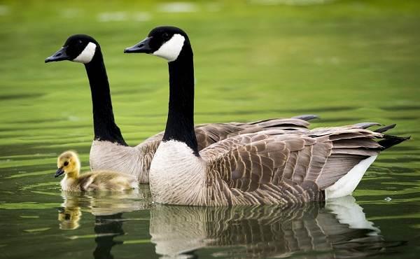 Водоплавающие-птицы-Описание-названия-и-особенности-водоплавающих-птиц-12